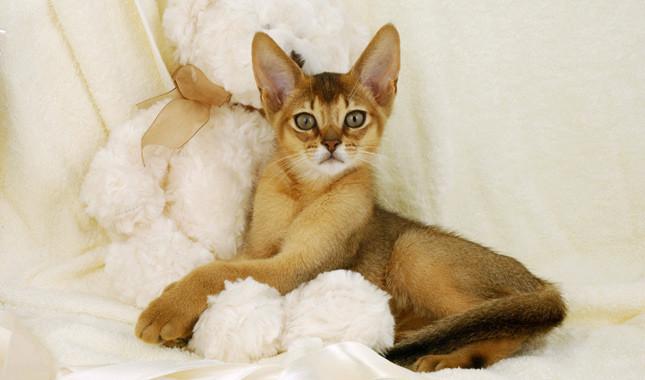 Чем кормить абиссинского котенка: Выбор корма и способа питания