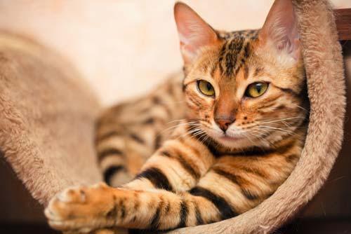 Кормление бенгальских котов, какой сухой корм лучше для бенгальских кошек